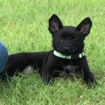 Black Malinois puppy from PSD Kennels