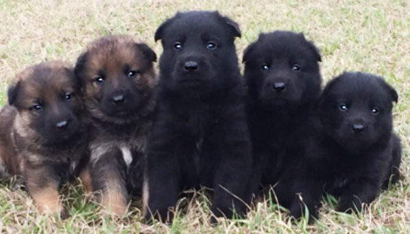 PSD German shepherd puppies 029s