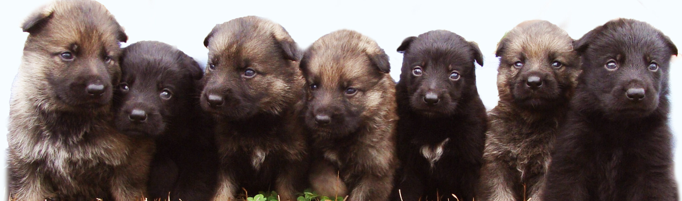 Psd German Shepherd Puppies for sale mississippi
