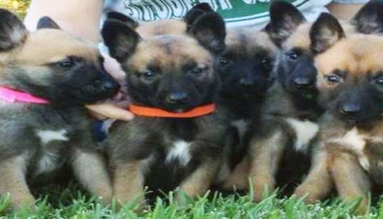 PSD Kennels Belgian Malinois Puppies For Sale