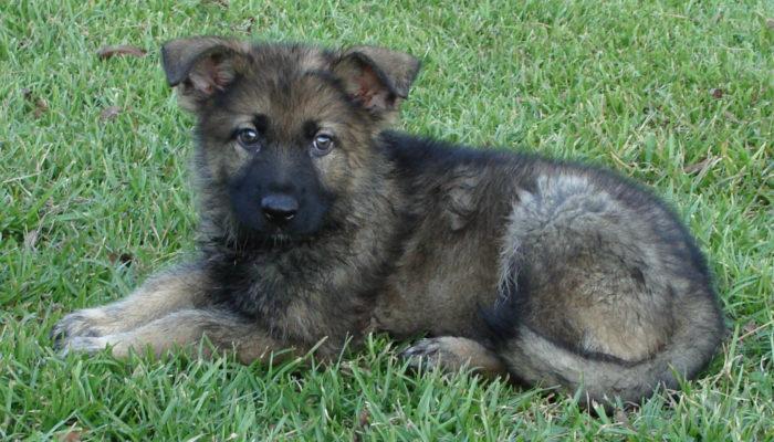 PSD Kennels Puppies For Sale Male German Shepherd