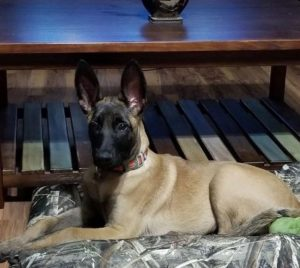 little draxx belgian Malinois from PSD Kennels Poplarville Ms