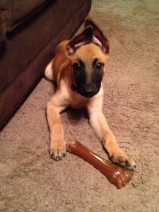 Belgian Malinois Puppy Natasha PSD Kennels Poplarville MS