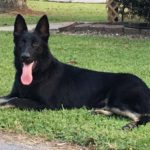 PSD Kennels Black German Shepherd