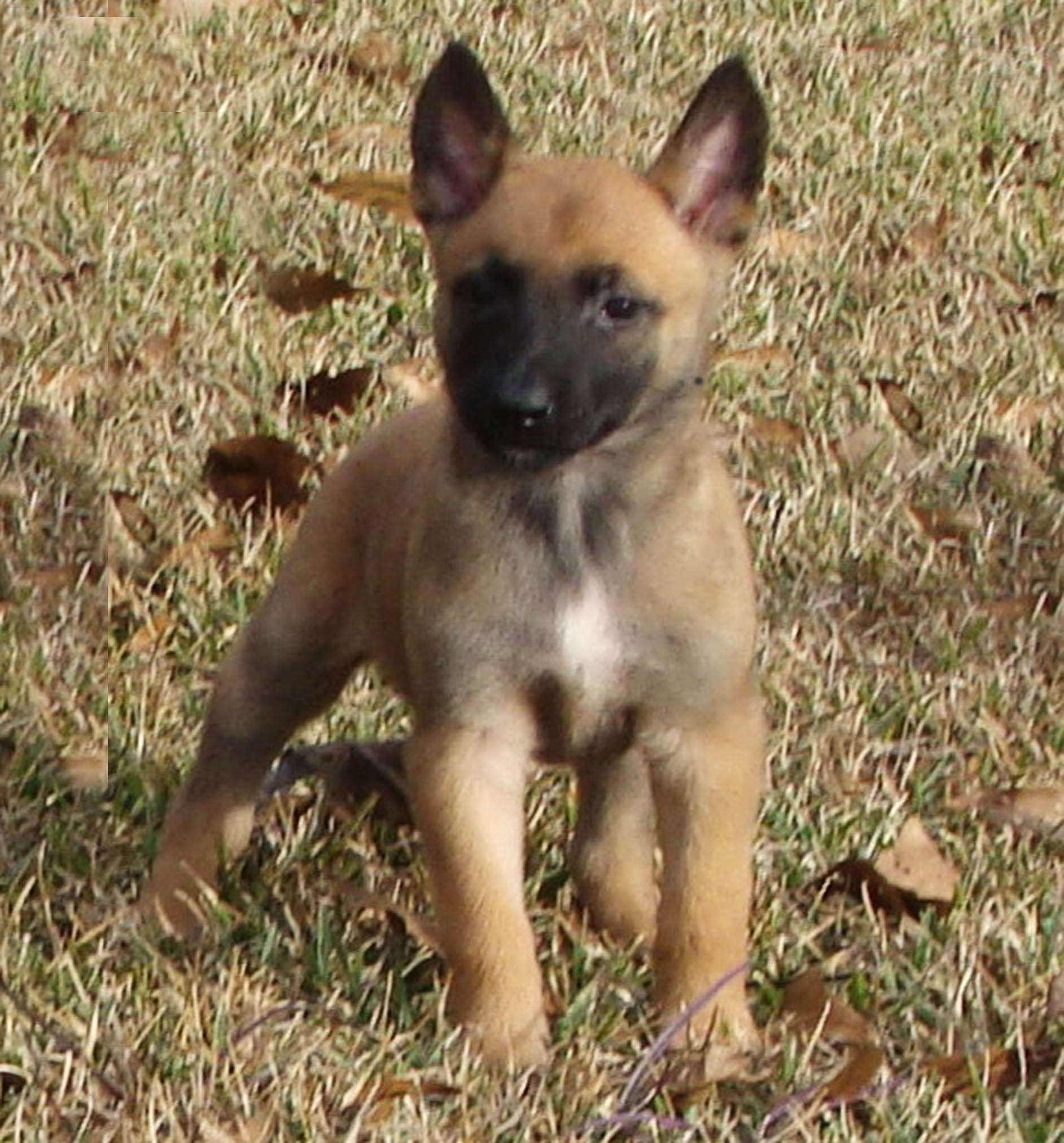 Malinois Dogs And Puppies For Sale In Ms By Psd Kennels 601 299 0264